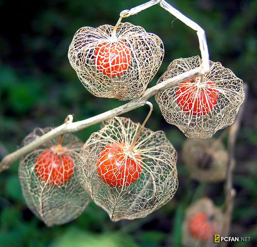 Dried chinese lantern plant forming cage around the red seed