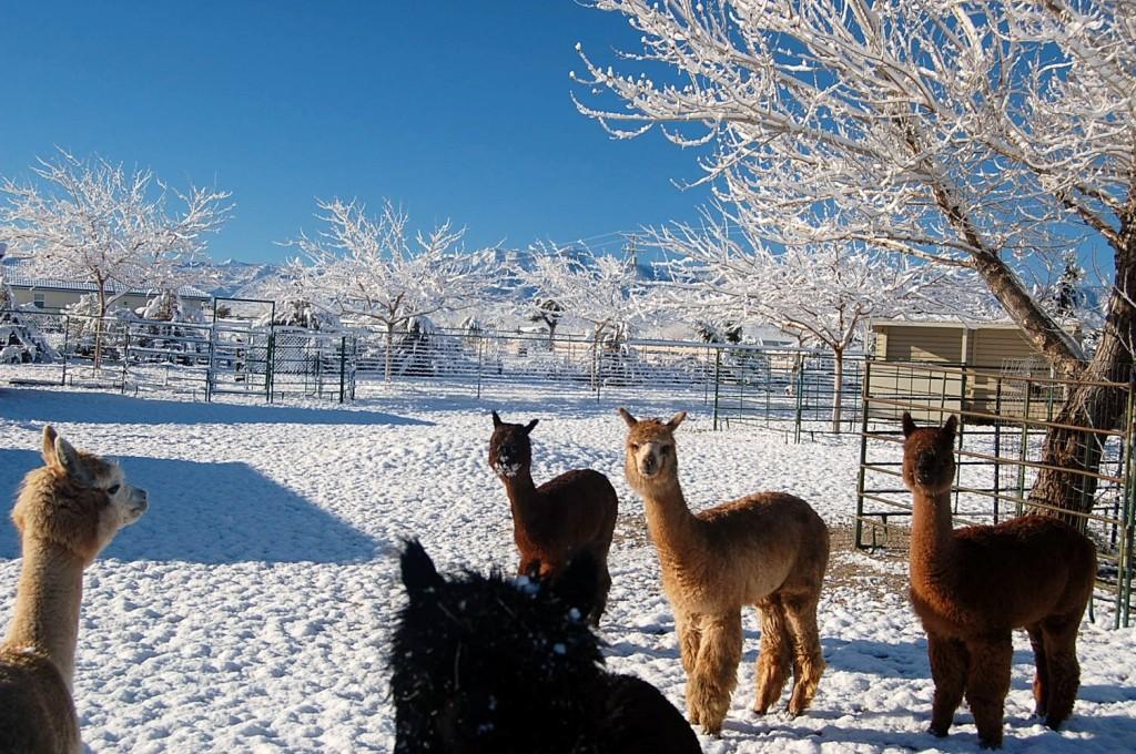 LaTeaDa Designs Marti Brown's alpacas in the snow
