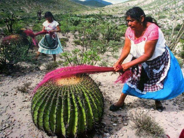 Cactus carding