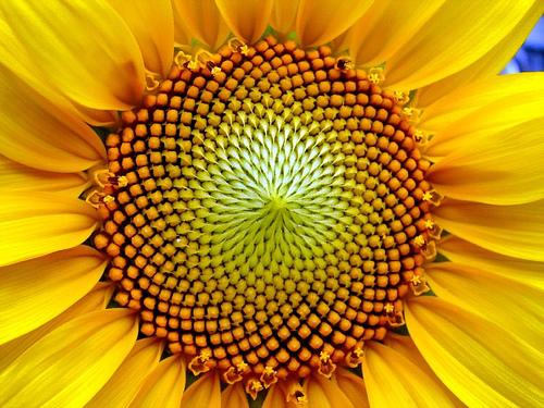 140908 Aeonn Fibonacci Sunflower