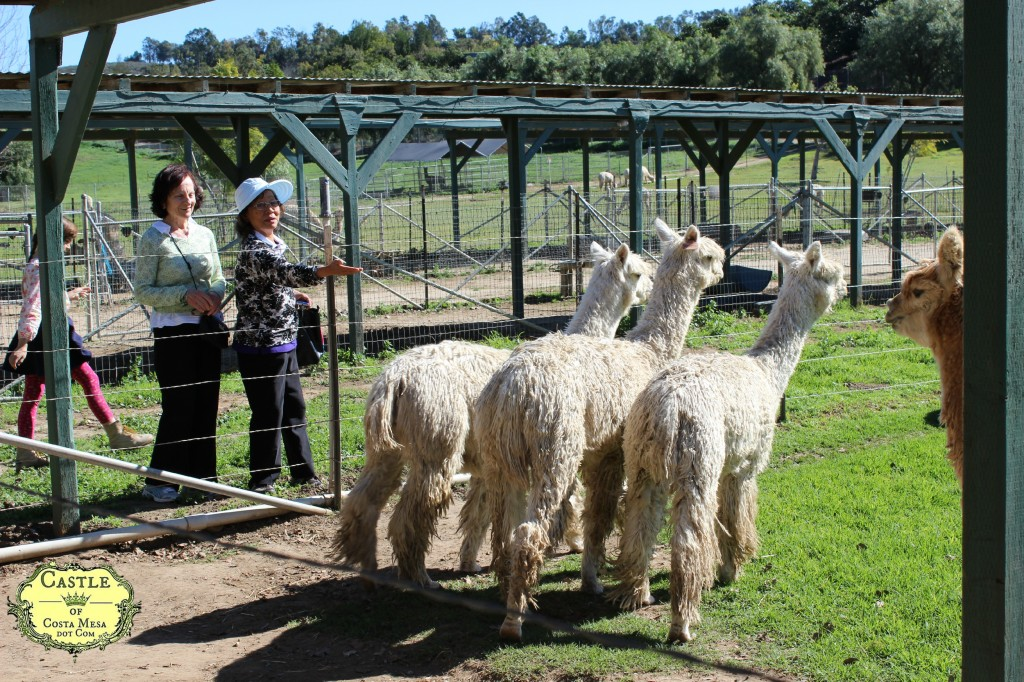 150210 Zhenny and Teresa by large open air pen at Cindy's farm Alpacas on Windy Hill in Somis, California.