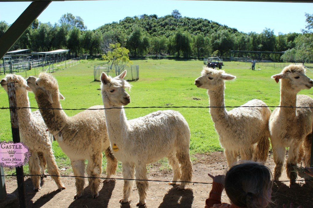 150210 white alpacas in a large open air pen at Cindy's farm Alpacas on Windy Hill in Somis, California.