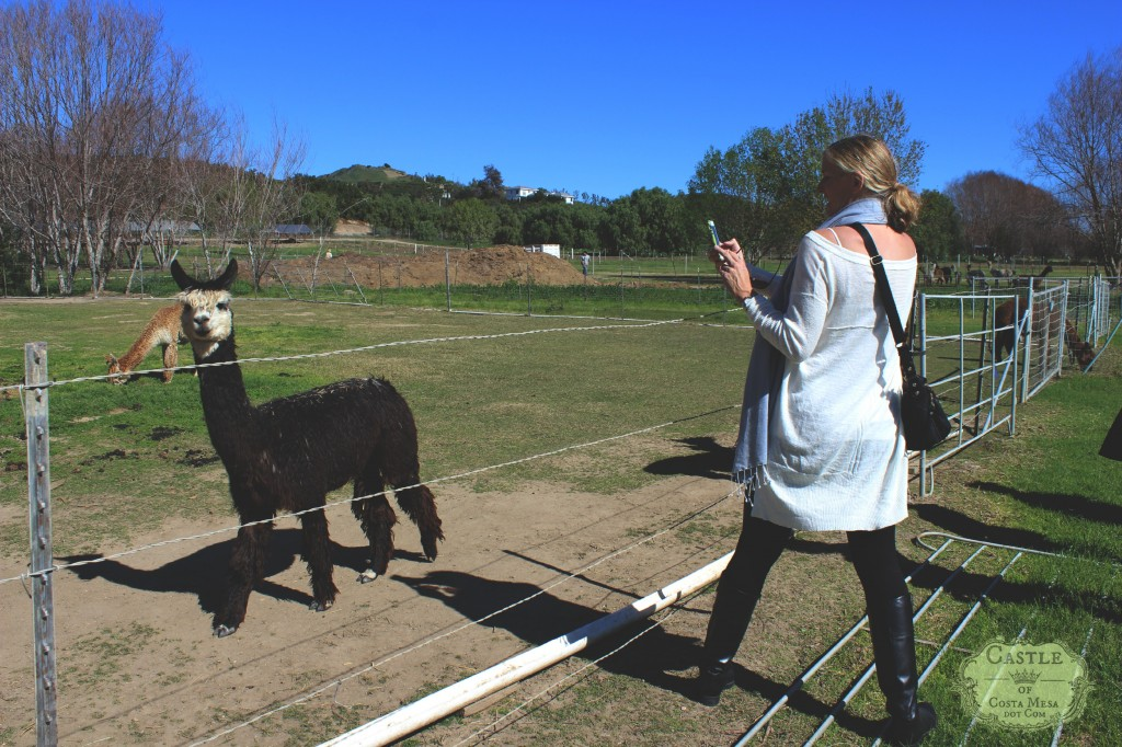 150210 Kathy taking pictures of alpacas.