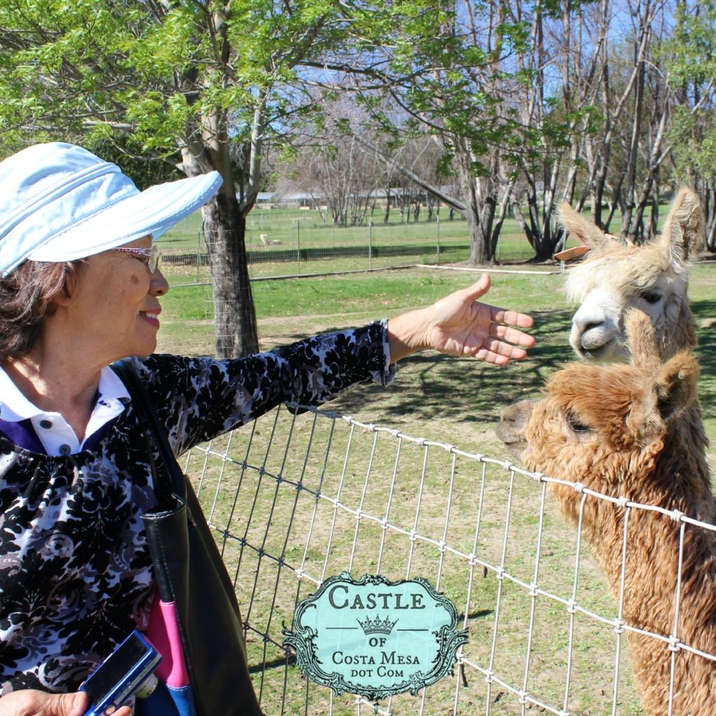 150210 Mama Teresa boding with suri alpacas.