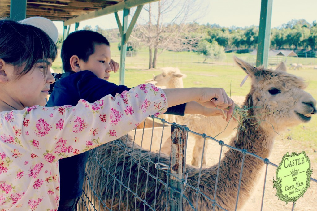 150210 Vi and Anicka trying to feed disinterested alpaca with alfalfa hay.