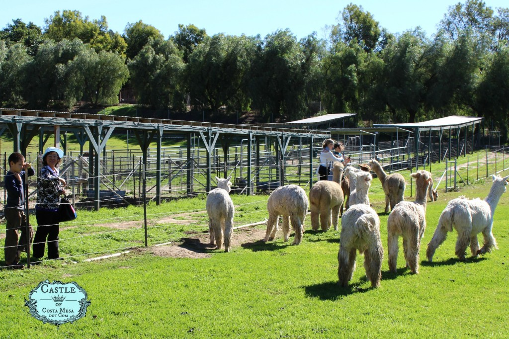 150210 Vivi and ah Poh Teresa on lush green open air alpaca farm.