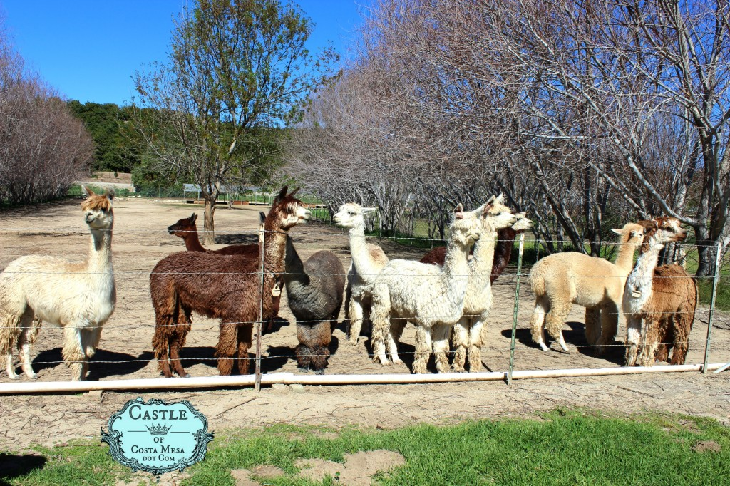 150221 some suri and huacaya alpacas on Cindy's farm.