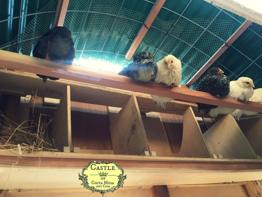 170516 young chickens roosting in the hen house 9379